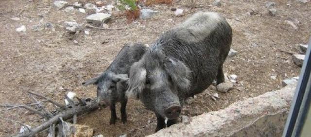Agriturismo Sardinien Schweine